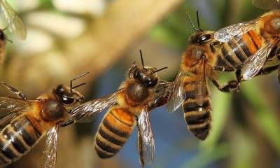 Cadena de abejas